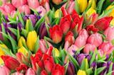 tulpenbollen-planten-300x200.jpg